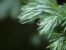 Macro Photo of Juniperus squamata or Himalayan juniper Isolated. Macro Photography of Juniperus squamata or Himalayan juniper Isolated on Background Stock Images