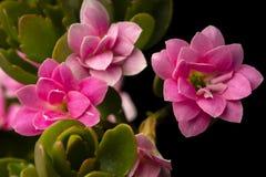 Macro photo kalanchoe. Blossfeldiana with pink flowers closeup.A popular flowering houseplant.Beautiful spectacular succulent with stunningly beautiful flowers stock photos