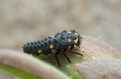 Ladybug larva, macro photo Royalty Free Stock Photo