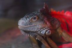 Macro photo large lizard Royalty Free Stock Image