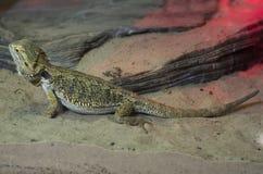 Macro photo large lizard Stock Photography