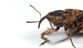 Macro Photo of Large Pine Weevil Isolated on White Background. Macro Photography of Large Pine Weevil Isolated on White Background royalty free stock photography