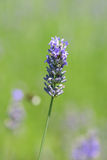 Macro photo of lavender flowers on green Royalty Free Stock Photo