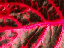Macro photo of leaf. Black base with red veins. Detail of leaf Royalty Free Stock Photos