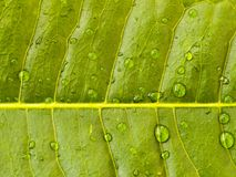 Photo of a leaf and it's veins 3 Royalty Free Stock Photos