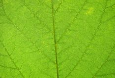 Macro photo of a leaf texture Stock Images