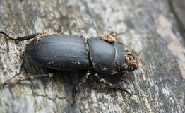 Lesser stag beetle, Dorcus parallelipipedus on wood Royalty Free Stock Photo