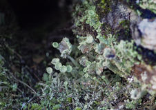 Macro photo of lichen. In a crack in stonework stock photos