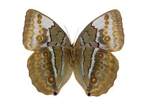 Macro photo of light brown butterfly on white royalty free stock photography
