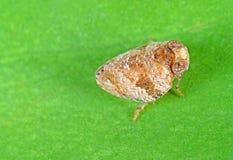 Macro Photo of Little Bug on Green Leaf. Macro Photography of Little Bug on Green Leaf Royalty Free Stock Photos