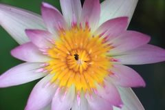Macro photo of lotus flower with bee it may be design to your design graphic Royalty Free Stock Image