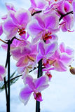 Macro photo. A lovely delicate white and purple orchids. Exotic flowers create a good mood Stock Image