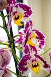 Macro photo. A lovely delicate white and purple orchids. Exotic flowers create a good mood Royalty Free Stock Photography