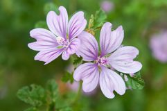 Macro photo of Malva sylvestris. On a green background Note: Shallow depth of field Stock Photography