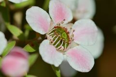 A macro photo of a beautiful Manuka flower Leptospermum scoparium, or New Zealand teatree, a source of wonderful Manuka honey stock image