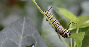 Macro photo of a monarch caterpillar outside on a green stem at night royalty free stock images