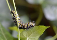 Macro photo of a monarch caterpillar outside on a green stem at night stock photo