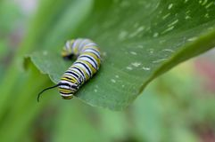 Macro photo of a monarch caterpillars outside on a plant. Close up of monarch caterpillar outside looking over a leaf in a flowerbed. Simple, colorful, bright royalty free stock image