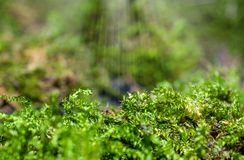 Macro photo of moss in the forest.  Stock Image