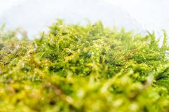 Macro photo of moss in the forest. With waterdrops Stock Photos