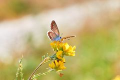 Free Macro Photo Of A Butterfly Close-up. A Butterfly Sits On A Flower. The Moth Sits On A Flower And Drinks Nectar. A Photo Of A Moth Stock Photo - 130054730