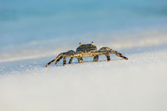 Free Macro Photo Of Crab On The Beach Stock Photography - 67463272