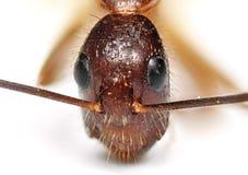 Free Macro Photo Of Face Of Tiny Ant Isolated On Background Royalty Free Stock Photos - 171755598