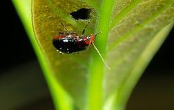 Macro Photo of Orange and Black Beetle on The Leaf was Eaten. Macro Photography of Orange and Black Beetle on The Leaf was Eaten Stock Images