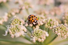 Macro photo orange ladybug. Lady bird on a top white flower. Soft and blurry garden background. Shallow depth of field. Selective focus stock image