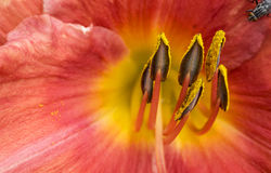 Macro Photo of an Orange Lilly Flower with Pollen Stock Image