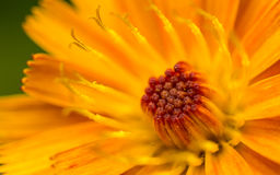 A macro photo of an orange and yellow Fox-and-cubs Wild flower Stock Photo