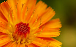 A macro photo of an orange and yellow Fox-and-cubs Wild flower Stock Photos