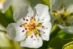 Macro photo of a pear flower. In early spring royalty free stock photo