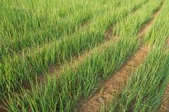 Plantation of green onions. Royalty Free Stock Photos