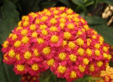 Macro photo of a picturesque bright pink shades of flowers Achillea Stock Photos