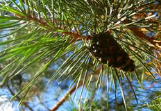 Macro photo of pine cone pine tree on the background of green spruce Royalty Free Stock Photography