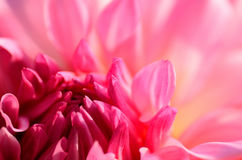 Macro photo of Pink Dalia. Stock Image