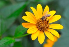 Macro photo of a pink flower of Rudbeckia. The bee is on a beautiful, yellow flower. royalty free stock images