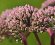 Macro photo of Sedum Autumn Joy royalty free stock image