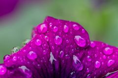 Pink & purple flower with building in dew reflections stock image
