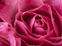 Macro photo of a pink rose with water droplets. Royalty Free Stock Photography