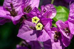 Closeup of pink and yellow Bougainvillea flower royalty free stock images