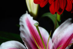 Macro photo of a pistil of white and pink lily flower with fragm Royalty Free Stock Photo