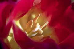 Macro. Photo pollen of beautiful red tulips close-up. Natural background royalty free stock image