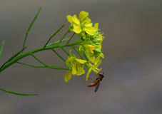Macro photo of a pollen insect at work on yellow flower Royalty Free Stock Photo