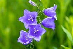 Macro photo of purple bells in soft focus royalty free stock photo