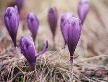 Macro photo of purple crocus flowers in spring. Royalty Free Stock Photography