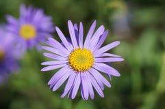 Violet daisy stock image