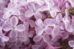 Macro photo of purple lilac flowers Royalty Free Stock Photos