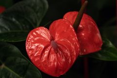 Macro photo of red anthurium in soft focus royalty free stock photography